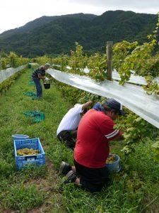 『農業と福祉の連携、ぶどうの収穫作業にいってきました。』